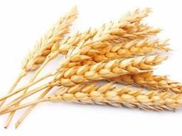 Пшеница 12, 5%